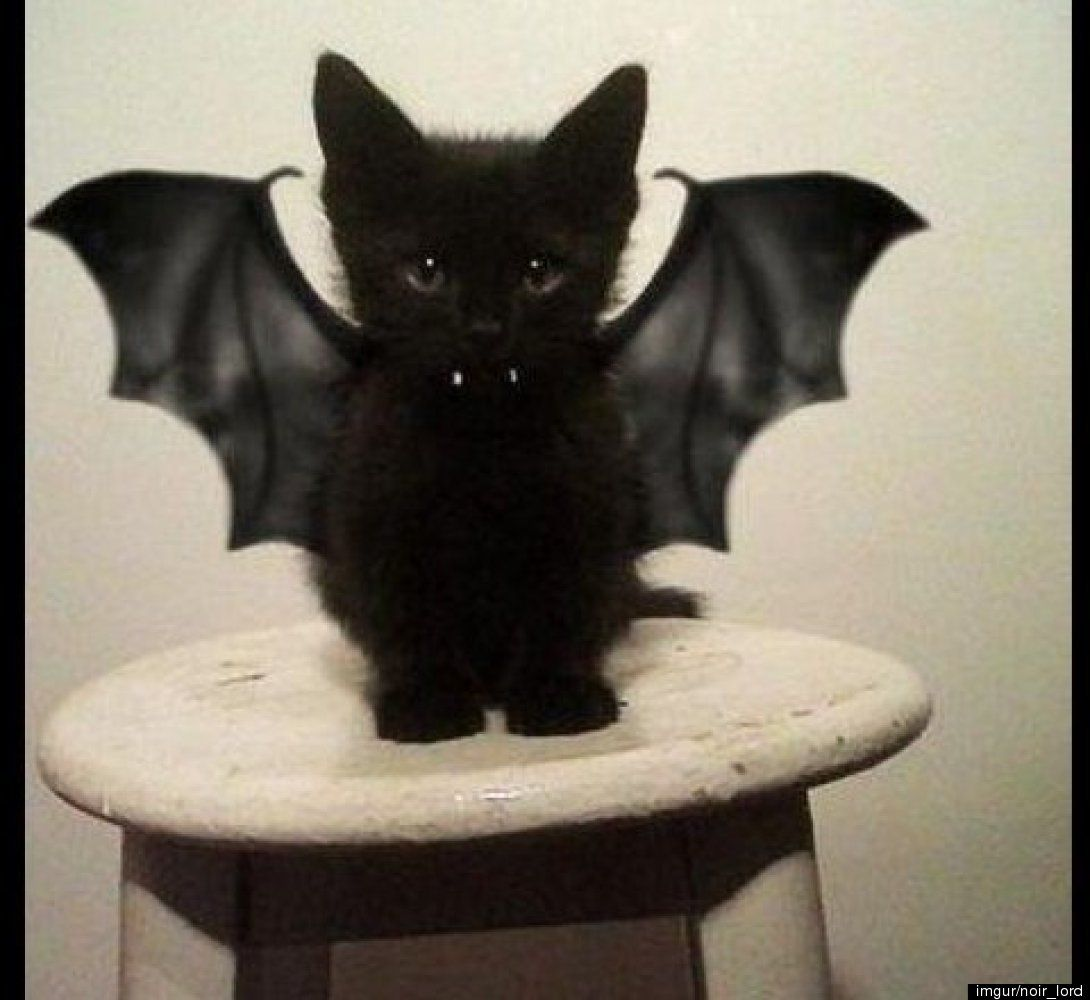 Bat Kitteh Must Be Feared I Iz Coming For You 13 Animals Who