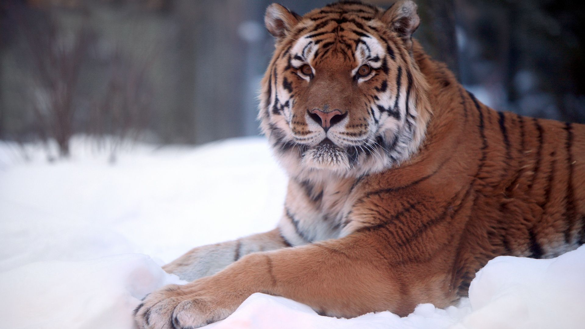 bing tiger | animals tigers hd wallpaper of size 1920x1080
