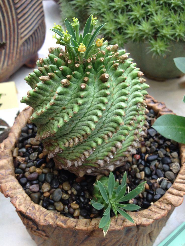 Euphorbia Obesa X Bupleurifolia Succulent Euphobia