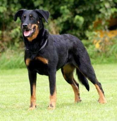 Beauceron Dog Breeds Dogs Beauceron