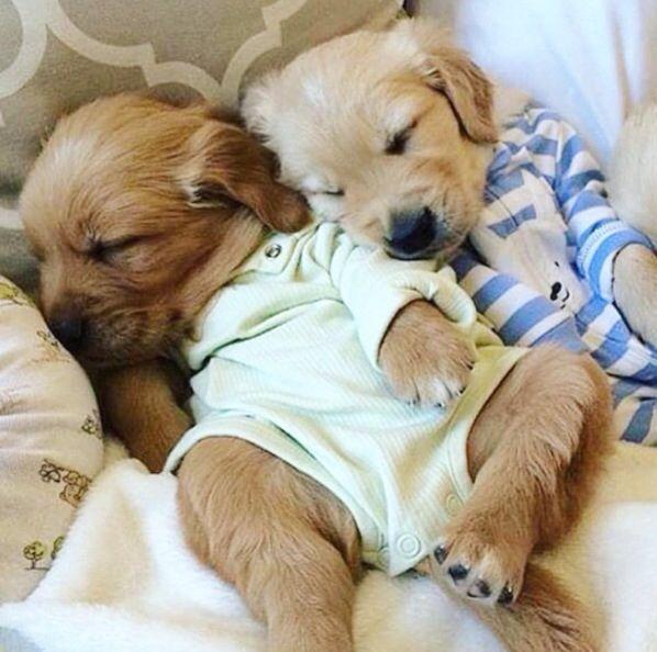Puppies In Pajamas Retriever Puppy Puppies Cute Puppies