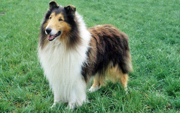 Collie Dog Breed Information Sheep Dog Puppy Best Dog Breeds
