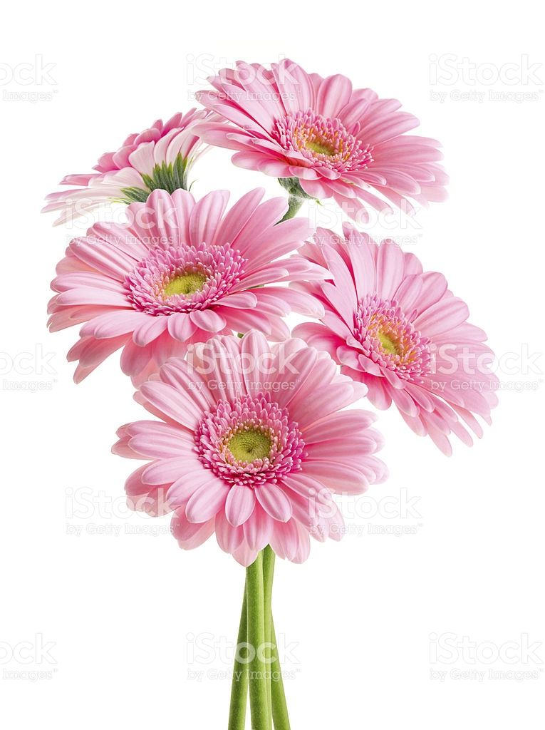 Pink Gerbera Flowers Bouquet Isolated On White Background With Pink Gerbera Pink Daisy Flowers