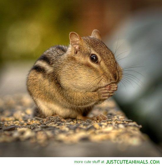 Chubby cheeked chipmunk