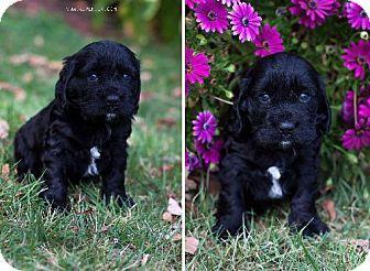 English Springer Spaniel Puppy Vacaville Ca Thedogspotrescue