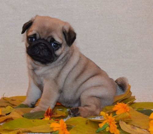 Fawn puppies for sale | Brown Pug Puppy For Sale in Los