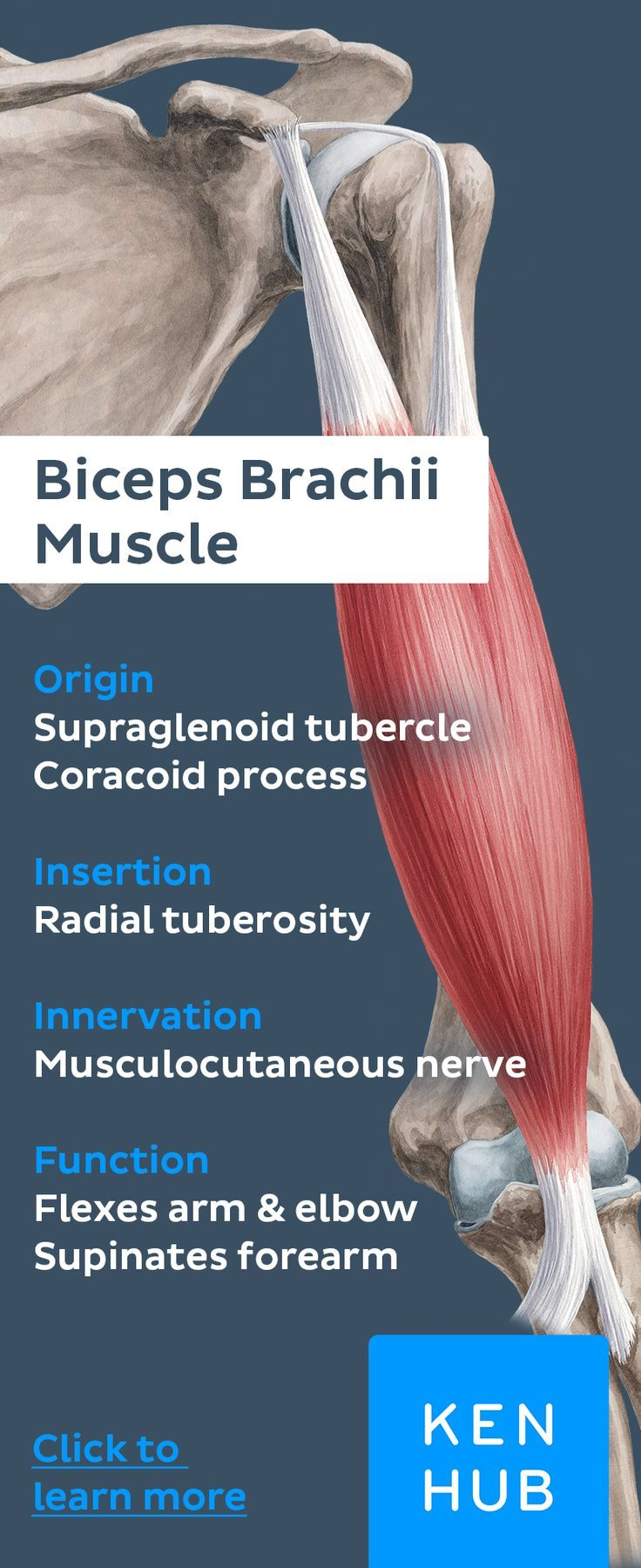 Biceps brachii muscle | Anatomía, Terapia y Anatomía humana