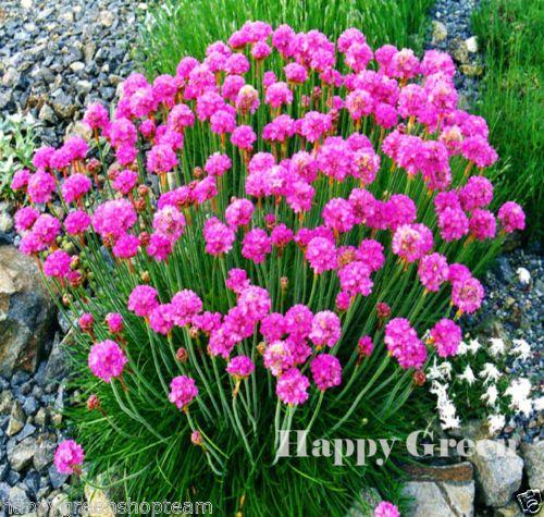 Sea Thrift Armeria Maritima 100 Scarified Seeds Perennial Flower Flowers Perennials Plants Rockery Garden
