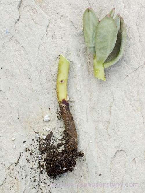 How To Water Succulent Plants Garden Succulents Planting