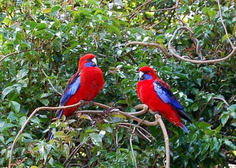 Australian birds - crimson rosella are common in country ...