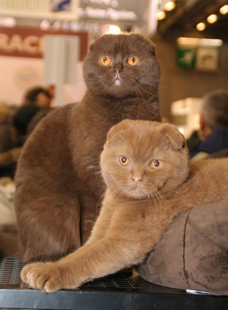 Scottish Fold Chocolat Et Cinnamon Cat Scottish Fold Scottish