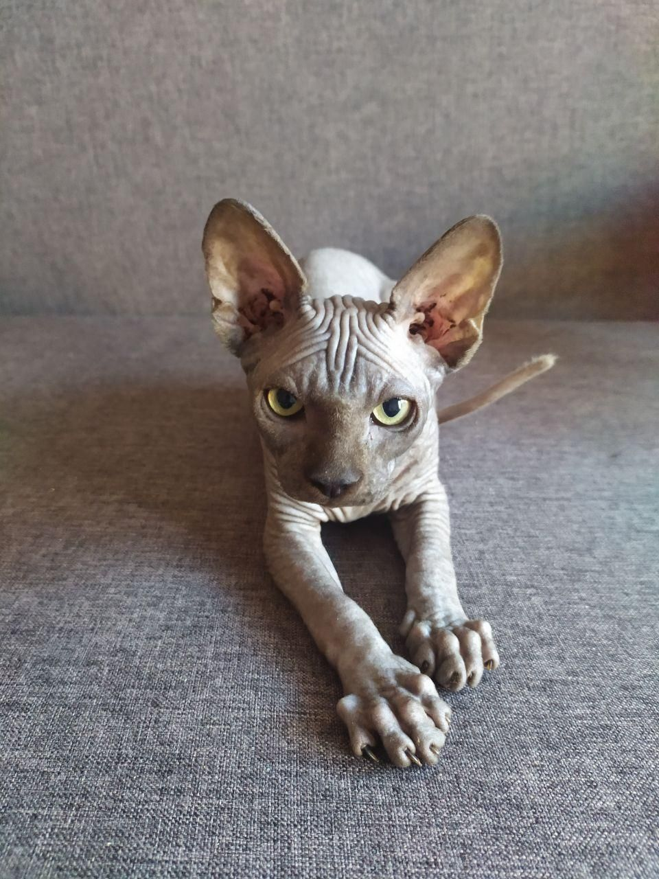 Pin By Isabella Caudill On With Love Sphynx In 2020 Cute Animals Sphynx Kittens For Sale Cat Breeder