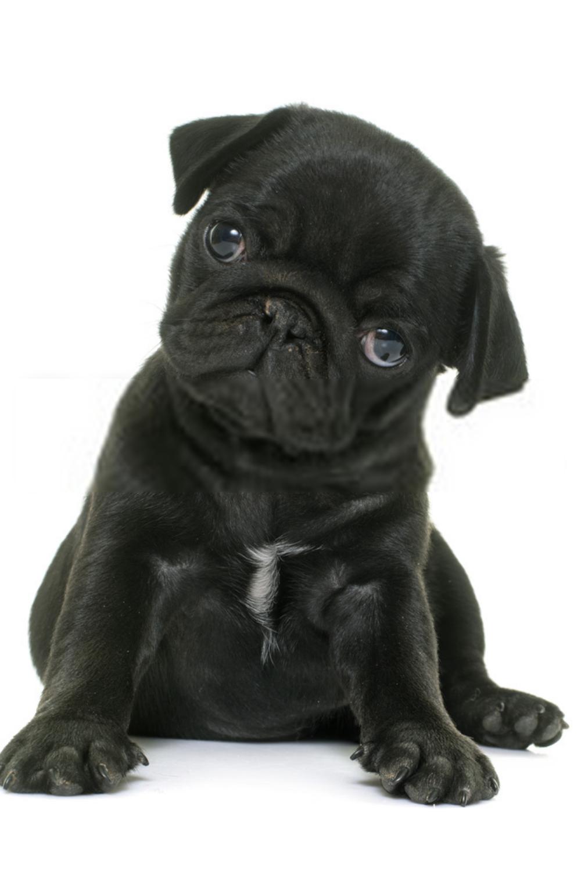 Cute Pug Puppies Cutest Pug Puppies Pug Puppies Black Pug Puppies Baby Pugs