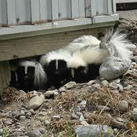Skunk Trapping Services In Rhode Island Ri Skunk Control Skunk Removal Skunk Getting Rid Of Skunks