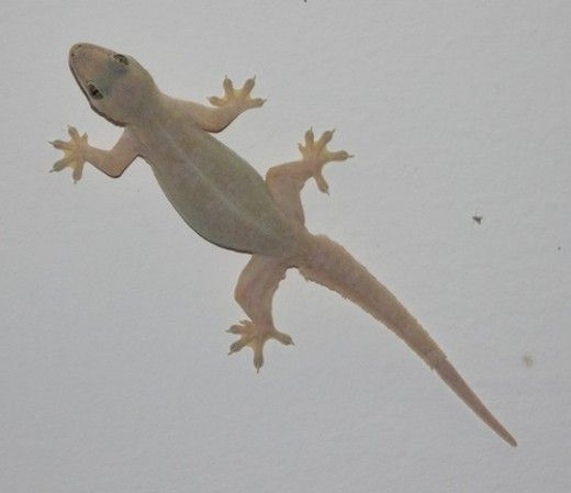 The Legend Of The Lizard Or Common House Gecko Lizard Image