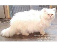 Pure Persian Male Cat For Stud Service Not For Sell Persian