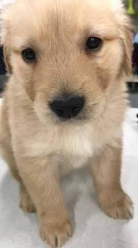 Golden Retriever Puppy For Sale In Kokomo In Adn 24687 On