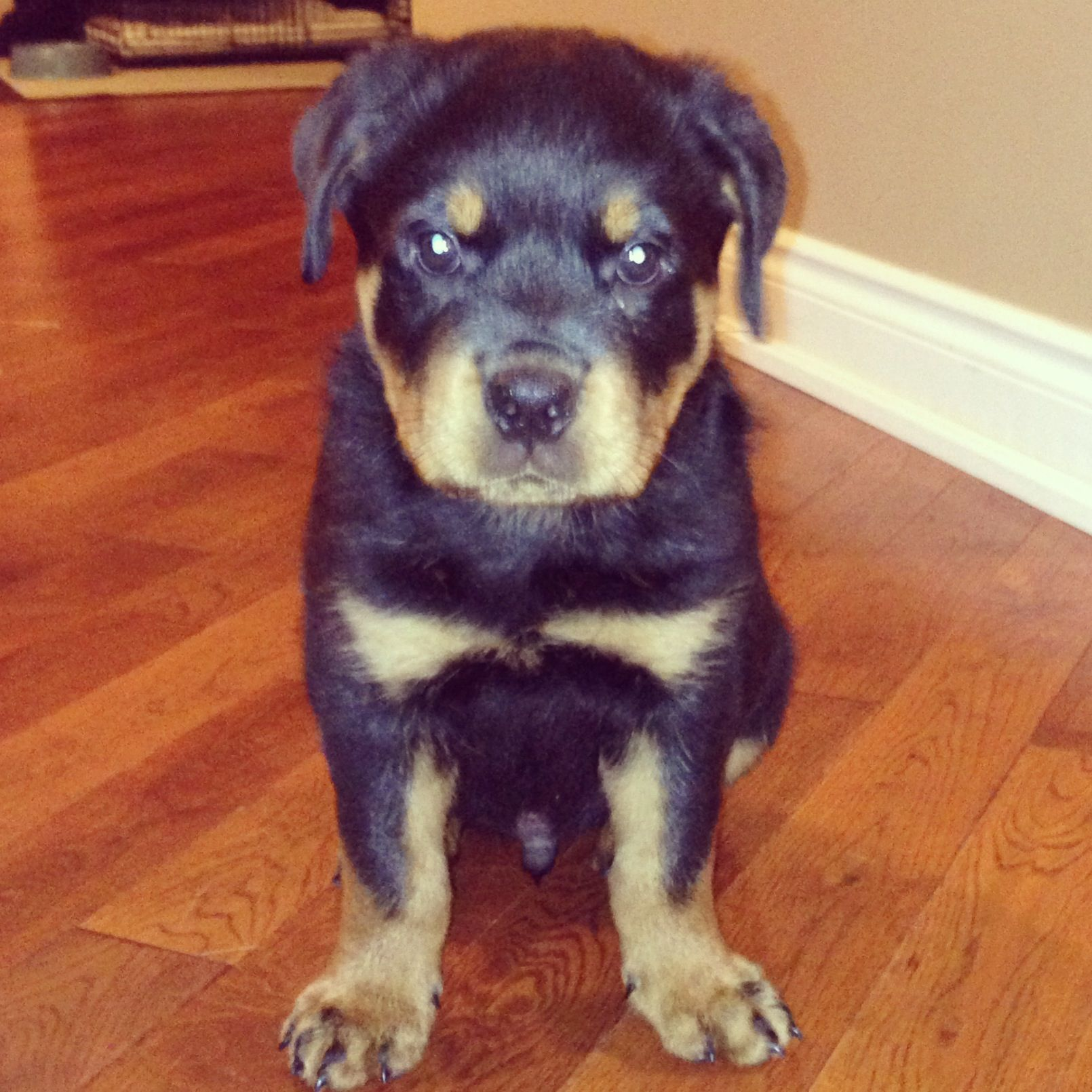Full Breed 8 Week Old Rottweiler Puppies Grays Essex Pets4homes