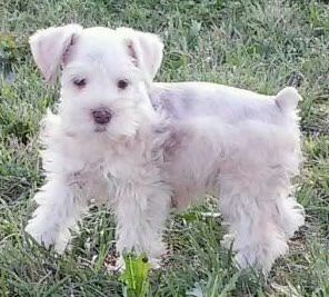 Pin By Teri Penman On Nothing Like Mini Schnauzers Miniature Schnauzer Schnauzer Puppy Miniature Schnauzer Puppies