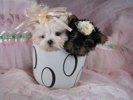 Teacup Puppies Teacup Dog Breeds Teacup Puppies Teacup Puppies