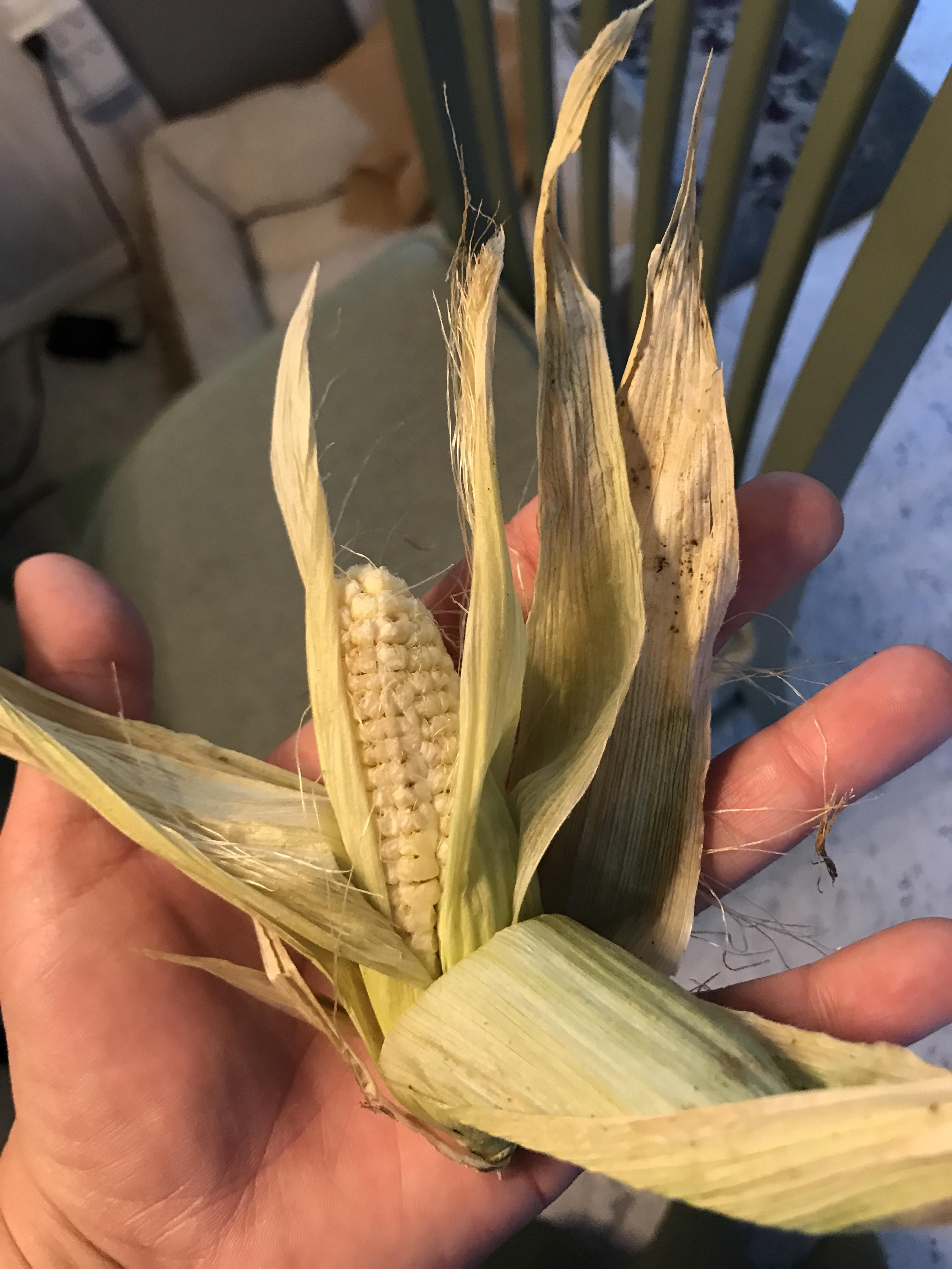 First time corn attempt and fail. Any advice for next year ...