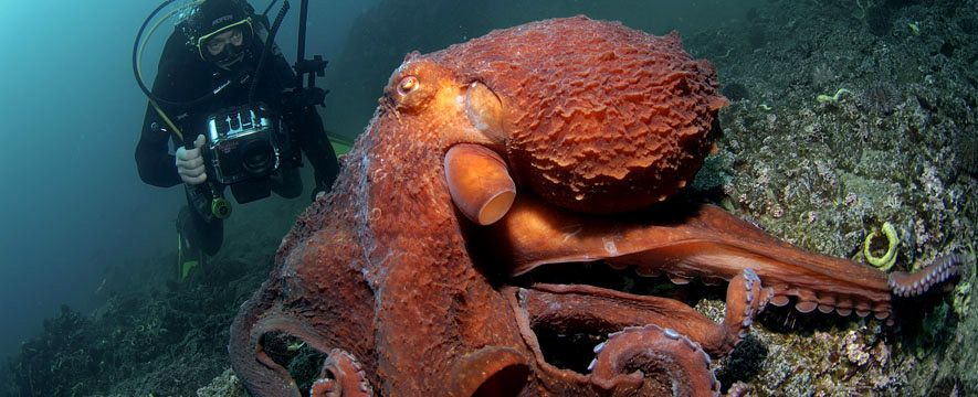 Sabéis cuál es la especie de # pulpo más grande del mundo ...