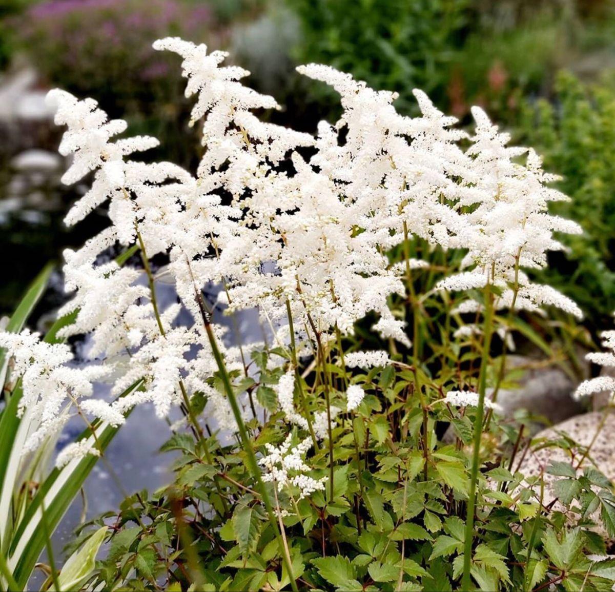 White Astilbe Flowers In 2020 White Flowers Flowers Astilbe Flower