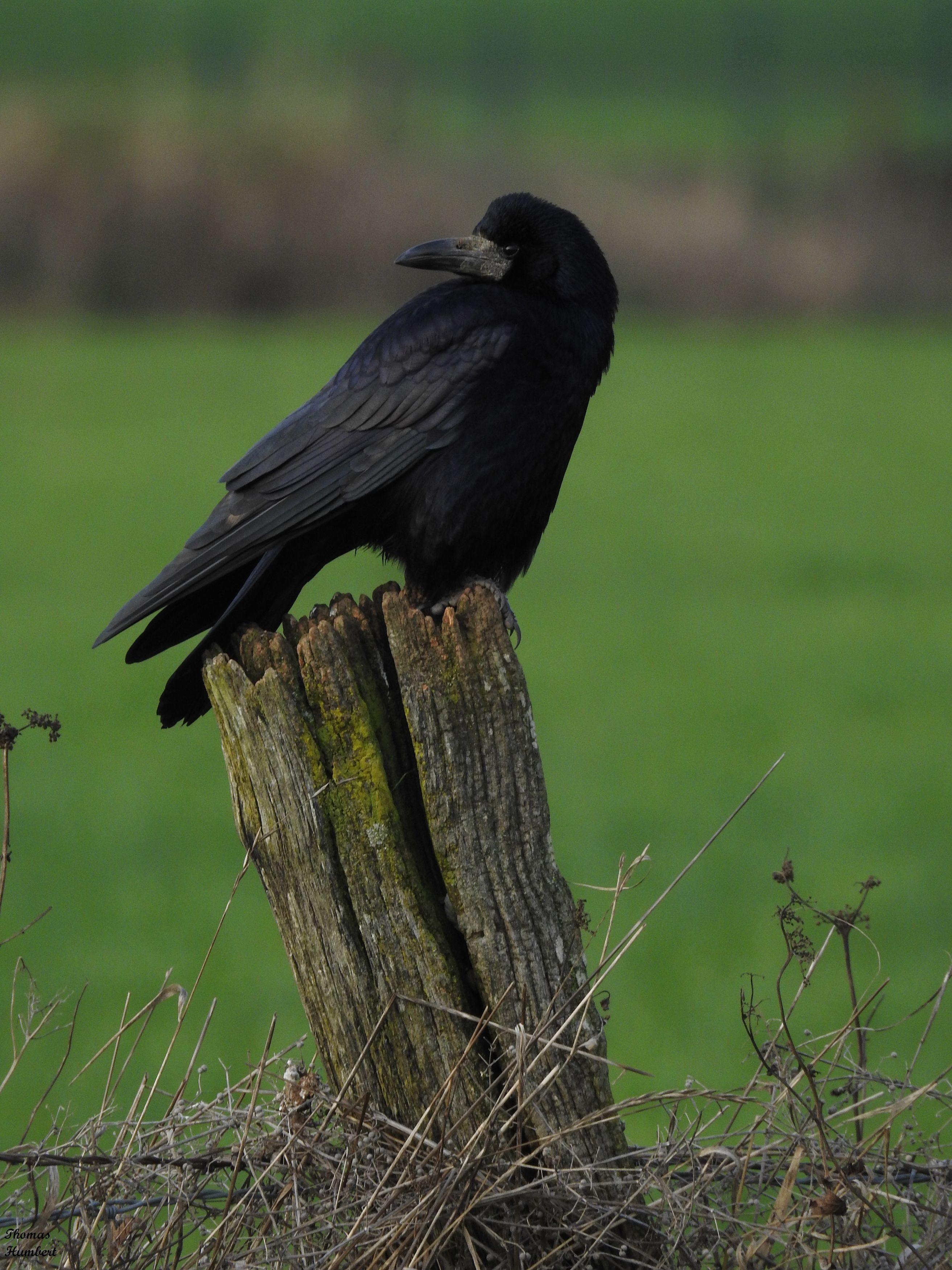 Comment Avoir Un Corbeau