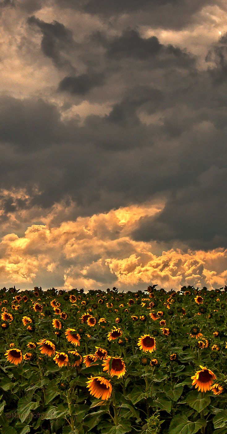 Dramatic sky and Sunflowers by marita toftgard