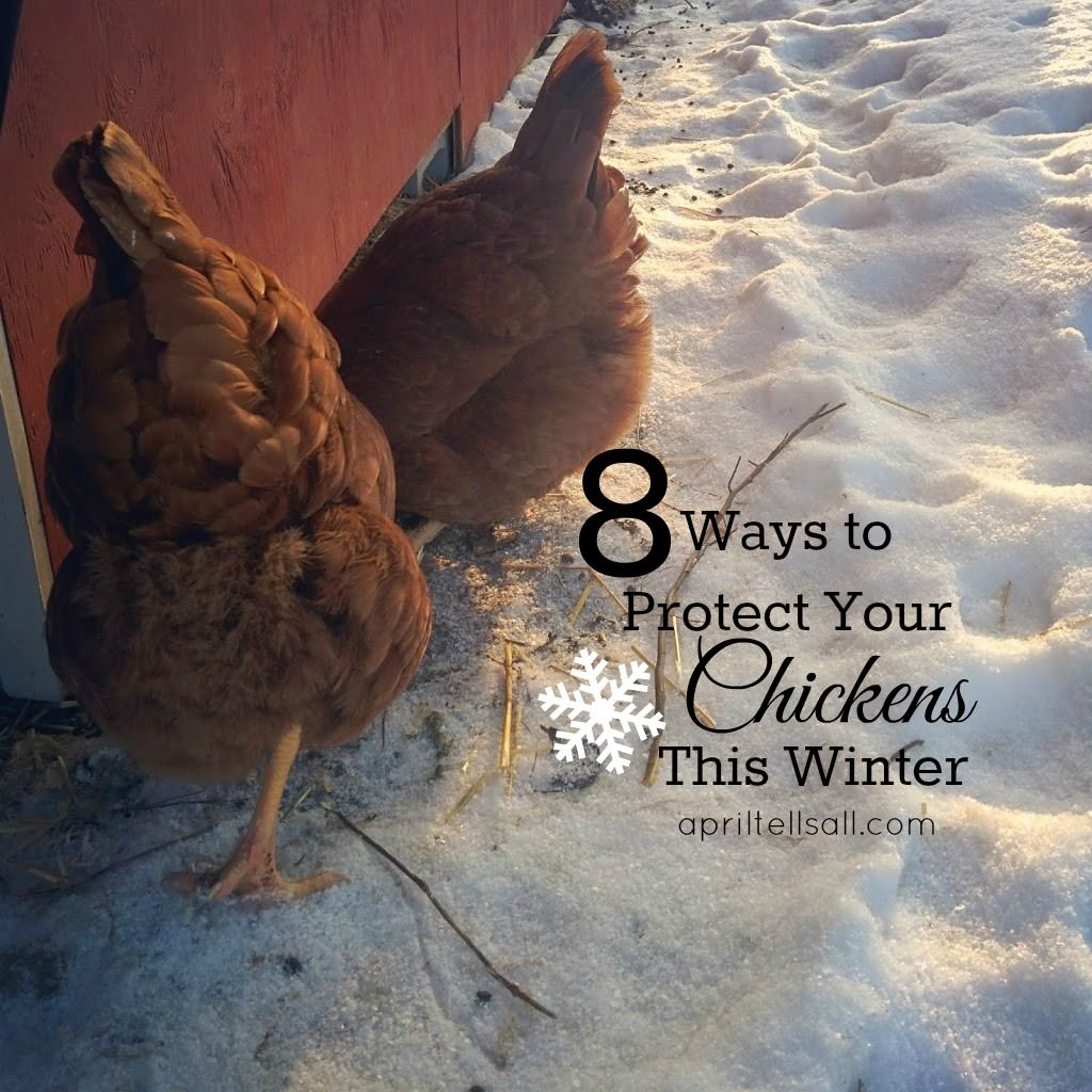 8 Things To Help Your Chickens Through The Winter -- We
