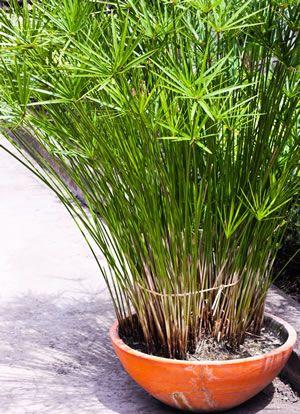 papyrus pflanze im topf pflanzen vermehrung pinterest pflanze t pfchen und pflanzen. Black Bedroom Furniture Sets. Home Design Ideas