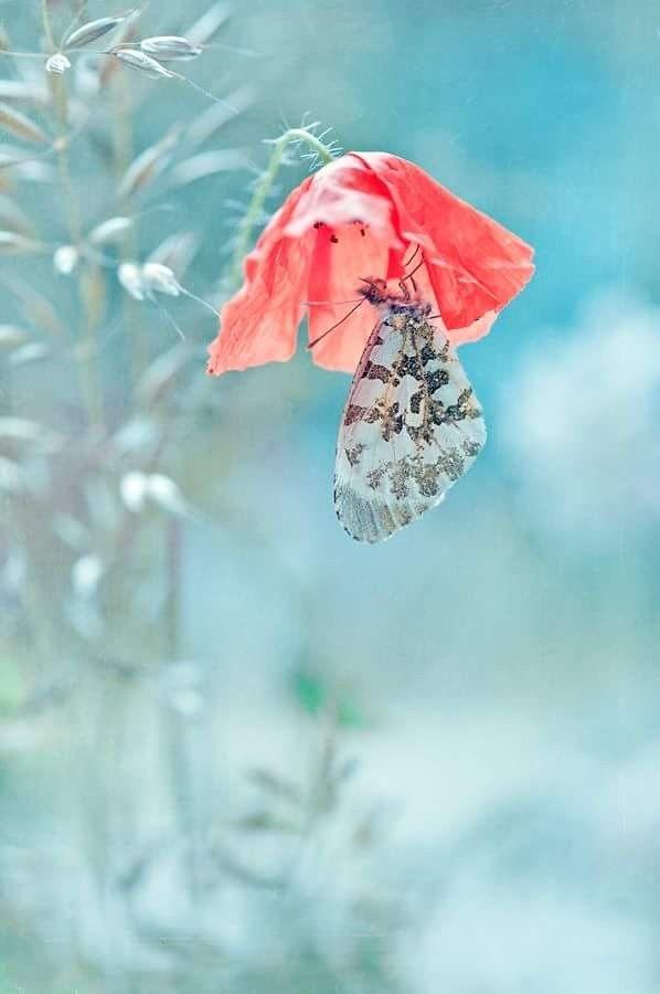Butterfly ❤ Schmetterling