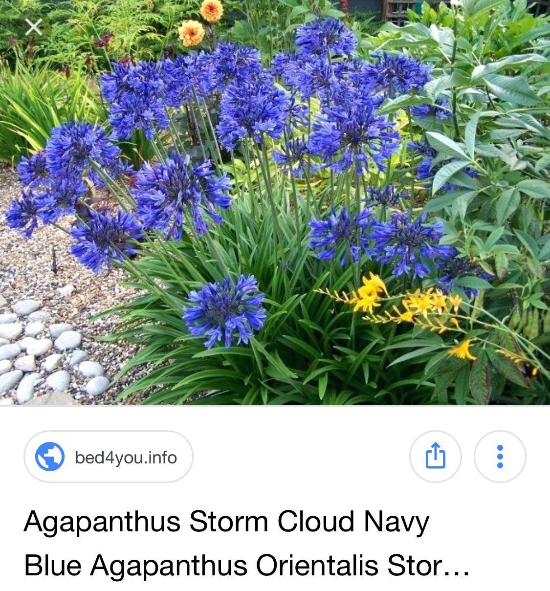 2 x2 bloom 3 5 agapanthus x storm cloud storm clouds agapanthus clouds storm cloud storm clouds agapanthus