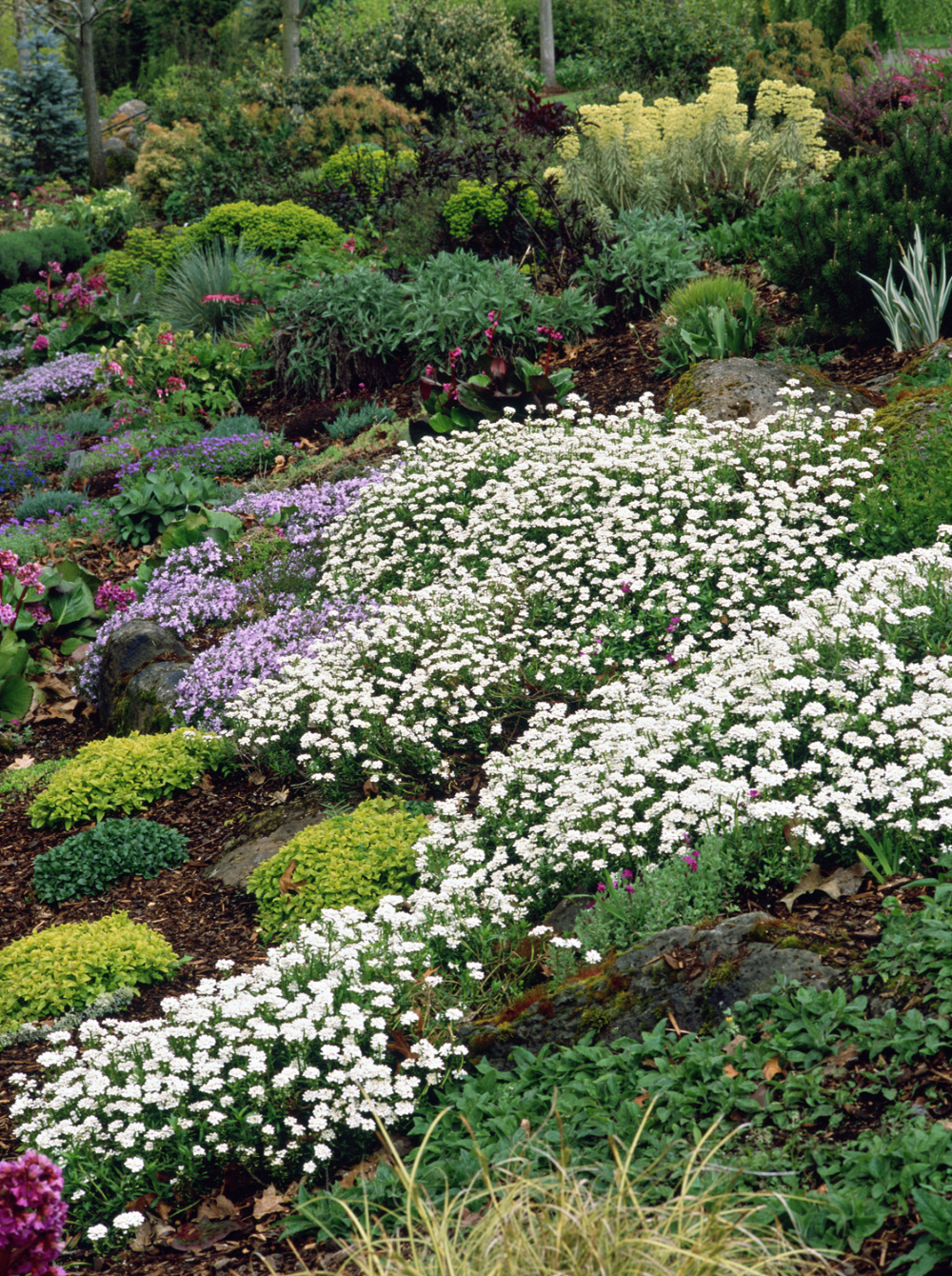 Purity Candytuft Monrovia Purity Candytuft In 2020 Winter Flowers Garden Backyard Landscaping Plants