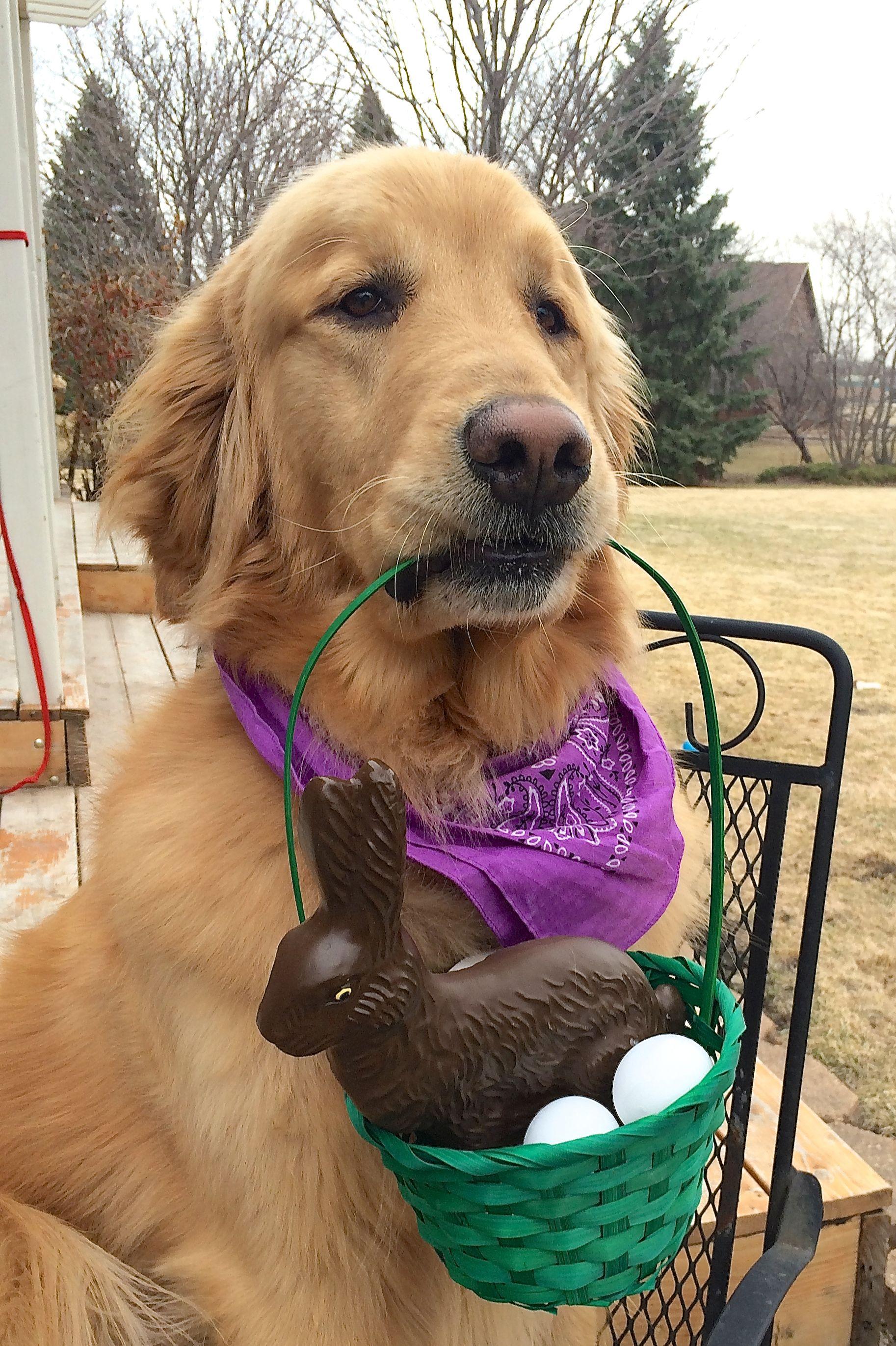 Golden Easter Bunny Golden Retriever Easter Golden Retriever