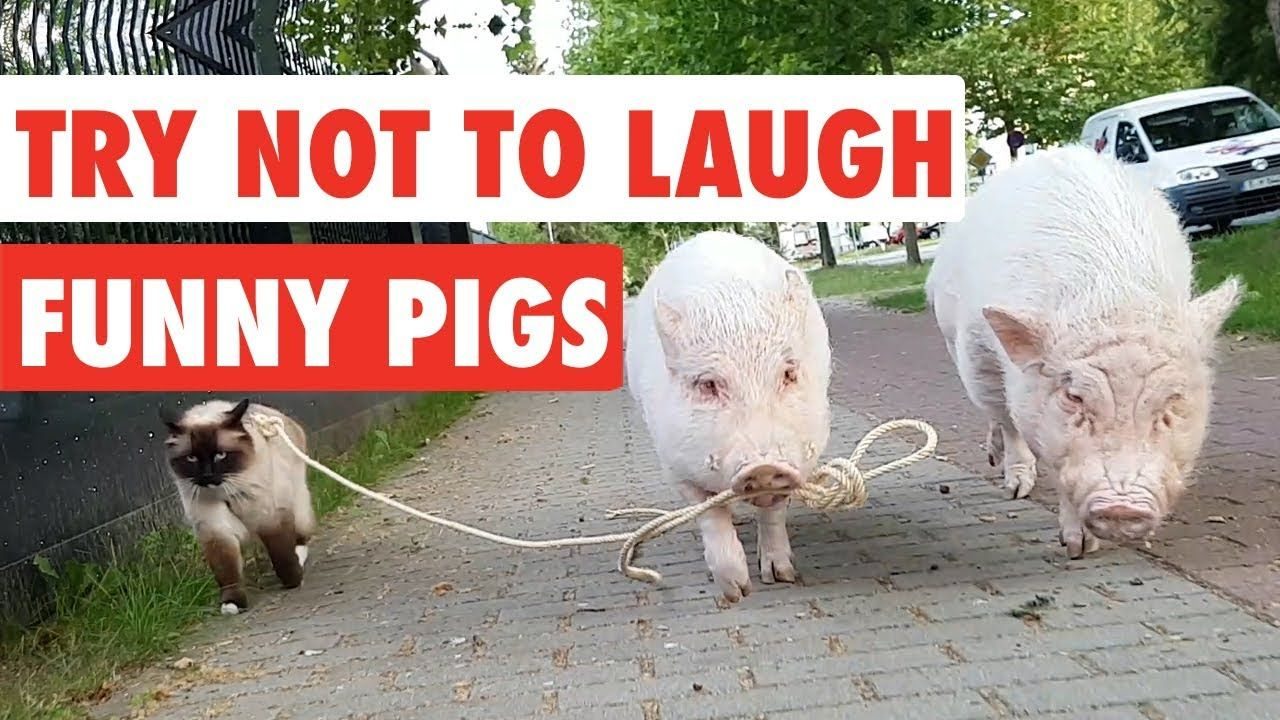 Try Not To Laugh Funny Pigs Video Compilation 2017 /