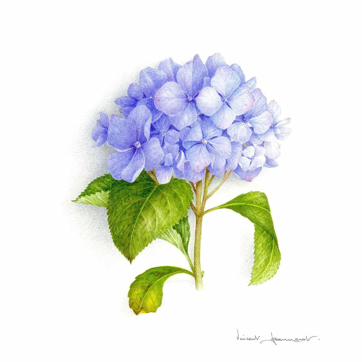 11 Lyubimyj Hudozhnik Botanicheskij Illyustrator Blue Hydrangea