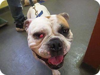 Orlando Fl English Bulldog Mix Meet Bentley A Dog For
