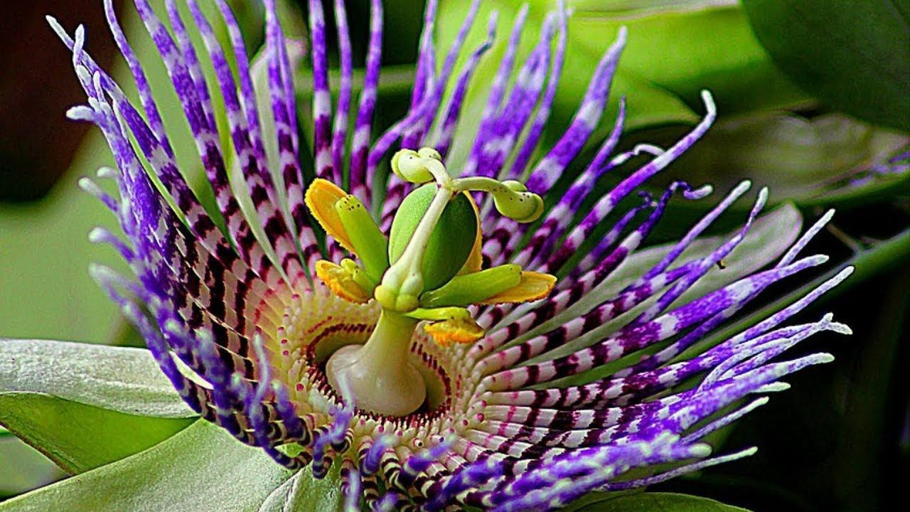 Passion Flower Tropical Rainforest
