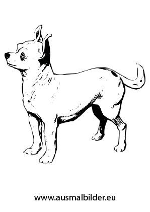 Ausmalbild Chihuahua Zum Kostenlosen Ausdrucken Und Ausmalen Ausmalbilder Malvorlagen Hunde Ausmalbilderhund Ausmalbilder Hunde Chihuahua Ausmalen