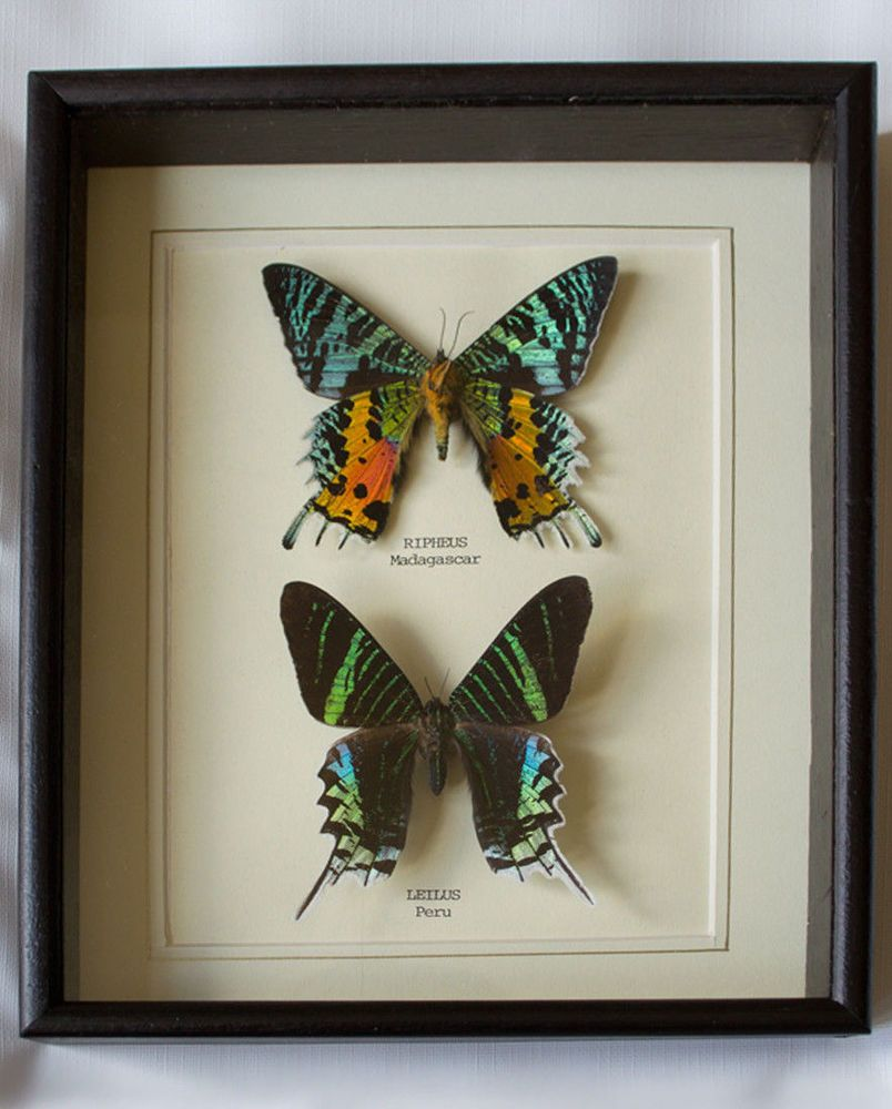 Framed In UK Beautiful GIft Taxidermy Real Ripeus /& Leilus Butterfly Hand Set