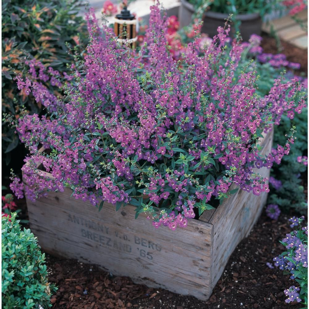 Costa Farms 1 Qt Purple Angelonia Flowers In Grower Pot 4 Pack 4angelopur4pk The Home Depot Plants Flower Garden Lawn And Garden
