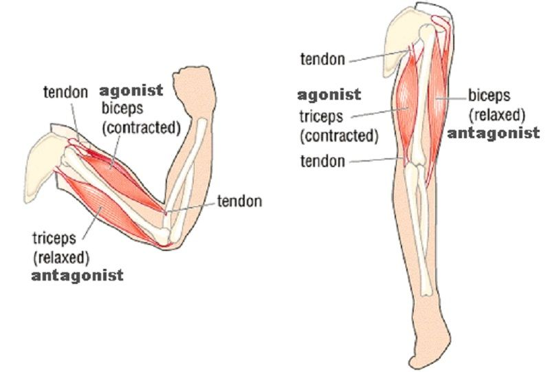 Examples Of Muscle Contractions Agonist And Antagonist The