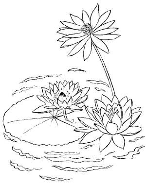 Water Lilies coloring page 4   Free Flowers coloring book ...