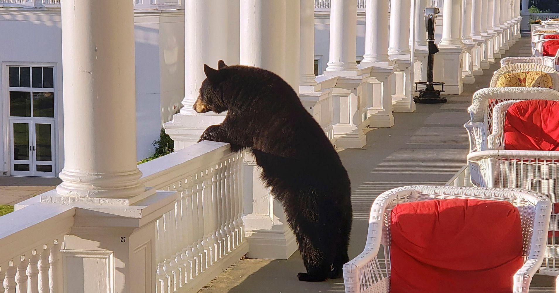 Bear Watches Sunrise From Hotel Veranda In New Hampshire's