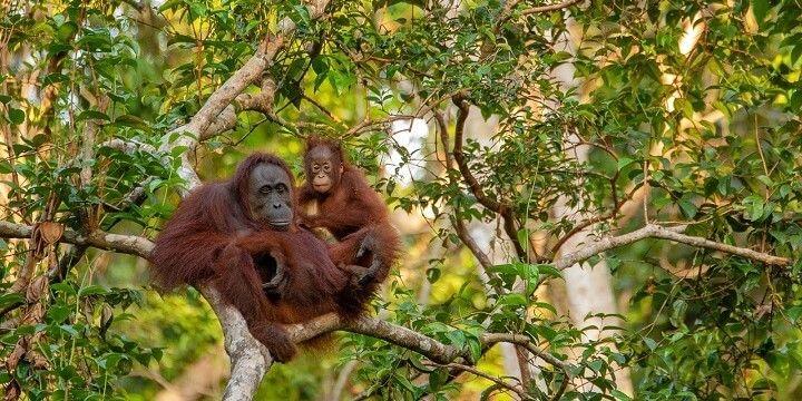 Orangutans, Kalimantan, Indonesia