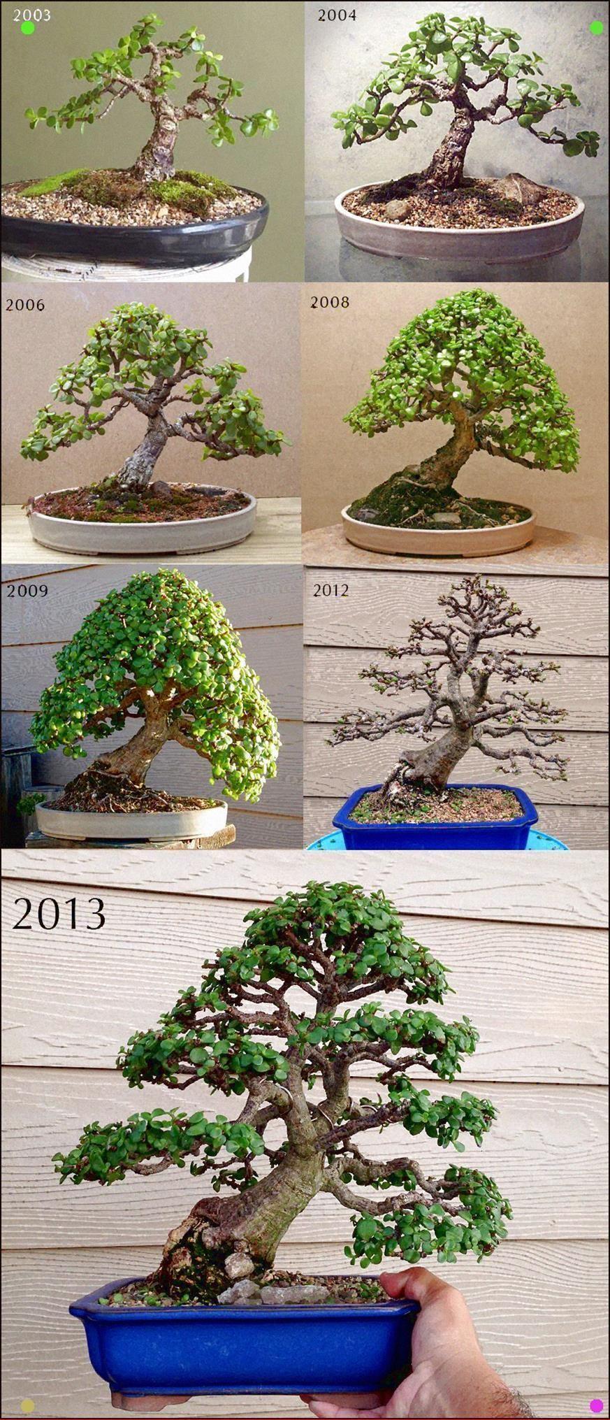 Portulacaria Afra Aka Jade Bonsai Bonsai Trees Bonsai Styles More At Fosterginger Pinterest Bonsai Tree Buy Bonsai Tree Jade Bonsai