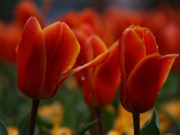 Road Trip The Flower Route Netherlands National Geographic Trip Flowers Tulip Season