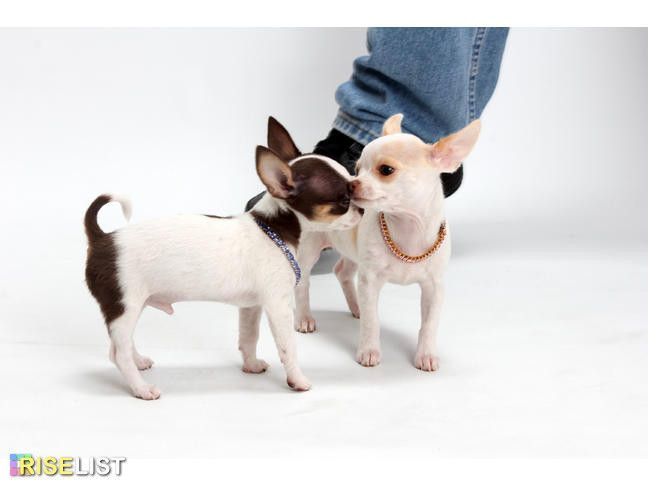 Akc Applehead Chihuahua Ofa Dna Tested Health Guarantee Akc