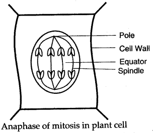 cell-division-icse-solutions-class-10-biology-14 https